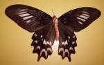 Athrophaneura Semperi