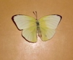 Catopsilia Pyranthe