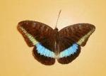 Euthalia Monina