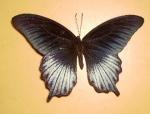 Papilio Luzviae