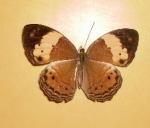 Phalanta Alcippe