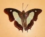 Polyura Athamas