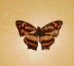 Symbrenthia Hypselis
