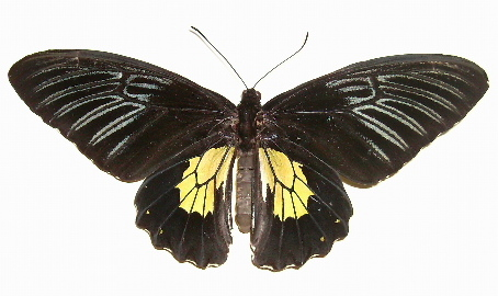 butterflies in the philippines essay This mission is to document the endemic, native, or introduced butterflies species  in the philippines please include only spottings of butterflies and/or their.